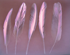 Lumen Print 1877 Five Feathers by John Fobes: copyrighted all rights reserved (john_fobes) Tags: lumen lumenart lumenprint lumenprinting llumenprints photogram johnfobes copyrightedallrightsreserved kodakpolycontrastiii feathers