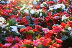 Flower bouquet (Jose Rahona) Tags: flor flores jardin garden parque park sol sun bouquet color