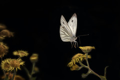 Peiris napi (Nickerzzzzz - Thanks for stopping by :)) Tags: ©nickudy nickerzzzzz theartofphotography wwwdigittaliacom canoneos5dmarkiii ef100mmf28lmacroisusm wings photograph wildlife nature greenveinedwhite peirisnapi animal outdoor insect macro butterfly lepidoptera pulicariadysenterica commonfleabane plant 5d33376
