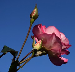 Rose #2 (MJ Harbey) Tags: flower sky bright rose rosa petals leaves buds rosebuds nikon d3300 nikond3300 bluesky