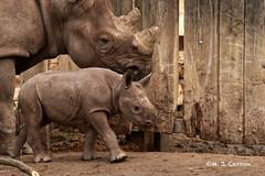 Mom And Baby (mjcarsonphoto) Tags: clevelandmetroparks zoo wildlife blackrhinoceros
