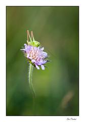 Un criquet (Rémi Marchand) Tags: criquet canon5dmarkiii canonef100mmf28l nature insecte