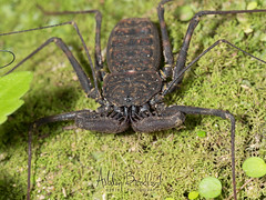 Spiny Palps (zxgirl) Tags: 60mmomzd amblypygi arachnida arthropods costarica em5ii animals macro nature travel trip turrialba cartago cr p3211677 bug bugs animal animalia arthropod arthropoda chelicerate chelicerates chelicerata arachnid arachnids whipspider whipspiders taillesswhipscorpion taillesswhipscorpions