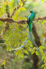 Resplendent Quetzal (Pharomachrus mocinno) male (Chris Jimenez - Take Me To The Wild) Tags: tours prey cricked trogons san pharomachrus fly rica quetzal food mocinno workshops flight nesting feeding costa nest chris resplendent gerardo dota jimenez