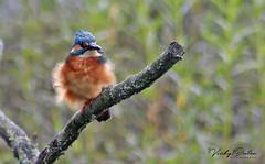 Wind blown kingfisher 2/10/18 (vickyouten) Tags: kingfisher nature wildlife canon canon1300d penningtonflash leigh vickyouten