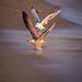 Les ailes de la victoire / Victory wings