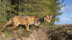 Misha Watching Kai Jump (Tidyshow) Tags: german shepherd dog bitch pet animal canine blue sky clouds trees woods woodland walking sony a99ii ilca99m2 sigma 24105 24105mm f4 alpha misha kai
