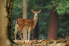 Lovely Lady (Andy Wakefield Photography) Tags: eppingforest deer doe fallow