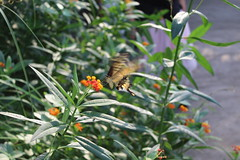 Schmetterling Burgers Zoo Arnhem (Las Cuentas) Tags: zoo tierpark butterfly tiere canon eos 4000d