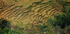 INDONESIEN, Sulawesi, Im Norden, Auf dem Land bei Batutumonga, trockene  Reisterassen zwischen urigen Wäldern , 17738/10759 (roba66-on vacation) Tags: sulawesi urlaub reisen travel explore voyages rundreise visit tourism roba66 asien asia indonesien indonesia insel celebes island île insulaire isla landschaft landscape paisaje nature natur naturalezza reisreisfelderricericefieldsfelderfields rural agricultur terassen reisterassen textur effecte texture