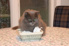117/365/3769 (October 6, 2018) - What is on these napkins? (Wanda on the Kitchen Table) (cseeman) Tags: wanda pets cats napkins napkinholder kitchen table kitchentable catonatable catinthekitchen saline michigan 2018project365coreys yearelevenproject365coreys project365 p365cs102018 356project2018