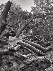 Death (marc.barrot) Tags: fallen bw tree dead uk nw3 london heath hampstead monochrome shotoniphone