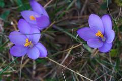 Flor de otoño (Luis L.Modrego) Tags: biguezal navarra españa esp flowers flores fleurs pirineo valledelromanzado fozdearbaiun flor macrofotografía fav5