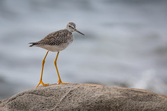 Greater Yellowlegs | Tringa melanoleuca | Grand Chevalier (Paul B Jones) Tags: greateryellowlegs tringamelanoleuca grandchevalier turpinshikingtrail tilting fogoisland newfoundland newfoundlandandlabrador canoneos5dmarkiv ef800mmf56lisusm canada nature wildlife bird sandpiper wader shorebird