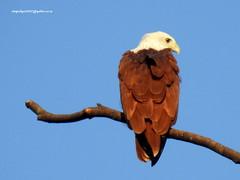 Brahminy Kite (Haliastur indus) (vlupadya) Tags: greatnature aves fauna indianbirds brahminy kite haliastur koteshwara kundapura karnataka