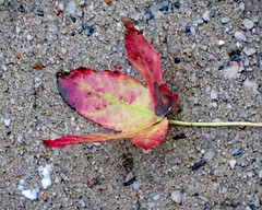 Fallen Leaf. (dccradio) Tags: lumberton nc northcarolina robesoncounty outdoor outdoors outside thursday evening autumn fall goodevening nature natural leaf leaves cement concrete sidewalk autumnleaf fallen grounded blowndown canon powershot elph 520hs