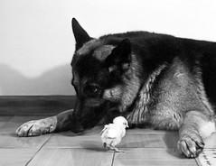 Lionhearth (Franfly Tell (ON-OFF)) Tags: bw dog cane tender tenero cick pumpkin animali pet bianconero coraggioso