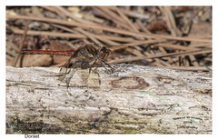 Ruddy Darter in Explore 14th October 2018 (Trevor Watts Photography) Tags: nikon d500 gb uk england © trevorwatts wildlife nature natural wild dslr insect darter dragonfly brownseaisland poole dorset september 2018 summer