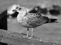Ein dankbares Fotomotiv..... (alterahorn) Tags: möwe gull seagull vogel küstenbewohner ostsee balticsea fischland fischlanddarszingst wustrow ostseebad sebrücke meer sea olympus penf olympuspenf zuiko zuiko100mm olympuszuiko vintagelens mft microfourthirds dxo
