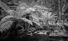 Mt Field National Park (laurie.g.w) Tags: mtfield nationalpark ferns water stream tasmania forest waterfall creek bw blackandwhite landscape waterscape australia treeferns