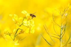 _DSC1015 (gael.lebrun56) Tags: fleur colza rape beez flower macro insect
