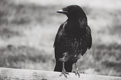 wisdom (***étoile filante***) Tags: crow krähe bird vogel sw bw monochrome schwarzweiss blackandwhite nature natur closeup nahaufnahme pentax