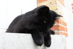 DSC_4109 (jemiseg) Tags: chat reglisse black cat