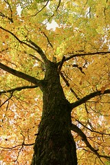 Yellow Tree (Read2me) Tags: autumn trees leaves jacobspond yellow frombelow pregamewinner thechallengefactoryweeklythemewinner friendlychallenges storybookotr gamewinner challengeclubwinner challengeyouwinner