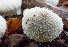 Common Puffball (Chalto!) Tags: franchiseslodge rspb wiltshire newforest mushroom fungus fungi toadstool