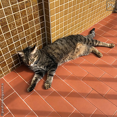 Sunbath (Pedro Nogueira Photography) Tags: pedronogueiraphotography pedronogueira photography animal cat gato doméstico domestic kitty kittens pets pet mobilephone iphonex telemóvel iphoneography p'eta