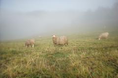 Curious sheep (Helena Normark) Tags: sheep curioussheep sheepinfog morningfog fog foglifting mist beautifullight skjetlein leinstrandmarka trondheim sørtrøndelag trøndelag norway norge sonyalpha7ii a7ii 35mm lensbaby burnside35 lensbabyburnside35 lensbabylove seeinanewway