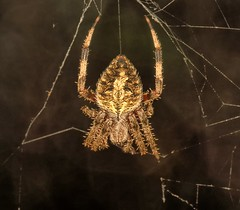 Tennessee Spider (Darts5) Tags: orbweaver orbweavers spottedorbweaver spider spiders spiderweb 7d2 7dmarkll 7dmarkii 7d2canon ef100l closeup canon7d2 canon7dmarkll canon7dmarkii canon canonef100l macro animal nature
