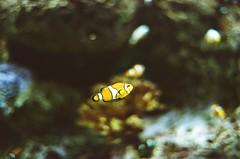 Odysea August 2018-2 (benakersphoto) Tags: fish aquarium film filmgrain filmscanner filmisnotdead filmphotography kodak kodakfilm kodakultramax 35mm 35mmfilm bokeh dof expiredfilm expired theexpiredfilmgroup