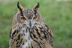 Eurasian eagle owl - Falconry Fair (Mandenno photography) Tags: animal animals eurasian eagle owl owls bird birds falconry fair falconryfair tilburg ngc nature nederland netherlands