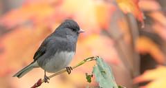 Junco ardoisé // Dark-eyed Junco (Alexandre Légaré) Tags: junco ardoisé darkeyed hyemalis oiseau bird animal wildlife nature nikon d7500 fall automne autumn