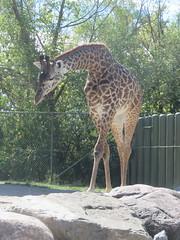 Masai Giraffe 4 (D. S. Hałas) Tags: halas hałas canada ontario yorkcounty toronto scarborough torontozoo chordata sarcopterygii mammalia artiodactyla cetartiodactyla giraffidae giraffacamelopardalis giraffacamelopardalistippelskirchii masaigiraffe giraffe