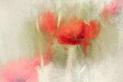 1442aTS Poppies (foxxyg2) Tags: flowers flora red poppy poppies art topaz topazsoftware topazstudio topazsimplicity naxos cyclades greece painterly