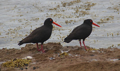 Sooty Oystercatcher, Sandon Point (RossCunningham183) Tags: sandonpoint wollongong nsw australia bird sootyoystercatcher oystercatcher rockpool