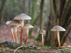 Fungi in the ancient Sussex woods (Nanooki ʕ•́ᴥ•̀ʔっ) Tags: handheld sussex ©suelambertlrpscpagb sussextrustfornature fungi mushrooms closeup woods forest bokeh