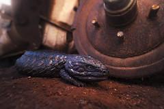 Shingleback lizard (Tiliqua rugosa) (Kristian Bell) Tags: shingleback reptile lizard car wreckage decay urban sand fauna wild wildlife nsw australia sony laowa kris kristian bell sleepy bogeye