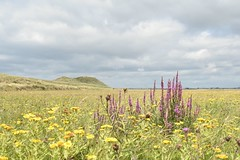 Purple Spires and clouds (lisakinneen3) Tags: wildflowers loosestrife fleabane nature landscape clouds ireland