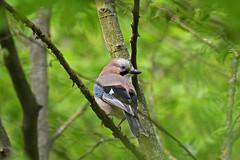 Eurasian Jay (Bois de Vincennes) (stinkenroboter) Tags: eurasianjay garrulusglandarius bird boisdevincennes paris france