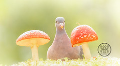 wood pigeon is standing between  toadstool (Geert Weggen) Tags: animal autumn bright bud cheerful closeup cute flower foodanddrink horizontal humor land lightnaturalphenomenon mammal moss mushroom nature perennial photography plant red springtime summer sweden tasting toadstool fun fight fall couple attack young dove bird wood pigeon bispgården jämtland geert weggen ragunda hardeko