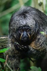Ragard accrocheur (Scholt's) Tags: singe monkey zoo nikon d7000 nature animal portrait eyes oeil regard zoobeauval beauval france green vert