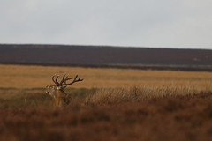 Bellowing Across The Moor (Derbyshire Harrier) Tags: 2018 wildreddeer stag rut autumn september bigmoor male rspb nationaltrust peakdistrict peakpark derbyshire easternmoors moorland heather reddeer