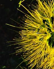 Golden Penda flower  (Xanthostemon chrysanthus) (Aussie~mobs) Tags: xanthostemonchrysanthus goldenpenda brisbane queensland australia flower yellow pompom native nature xanthostemon proteaceae arfp qrfp arfflowers yellowarfflowers