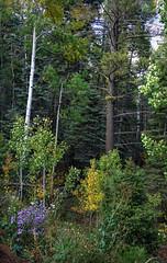 Santa Fe - Hyde Memorial Park (psyberartist) Tags: santafe newmexico aspens mountains southwest natue trees plants