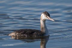 Great Crested Grebe - Juvenile D85_6012.jpg (Mobile Lynn) Tags: nature greatcrestedgrebe birds grebe bird diving fauna podicipedidae podicipediformes wildlife waterbird waterbirds richmond england unitedkingdom gb