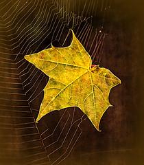 Caught in mid flight (vivien hopkins) Tags: leaf autumn colours web flight midair leaves fall falling spiderweb