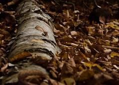 Fall Birch (efkjr79) Tags: hike hiking birch birchtree fall newyork cascademountain adirondacks